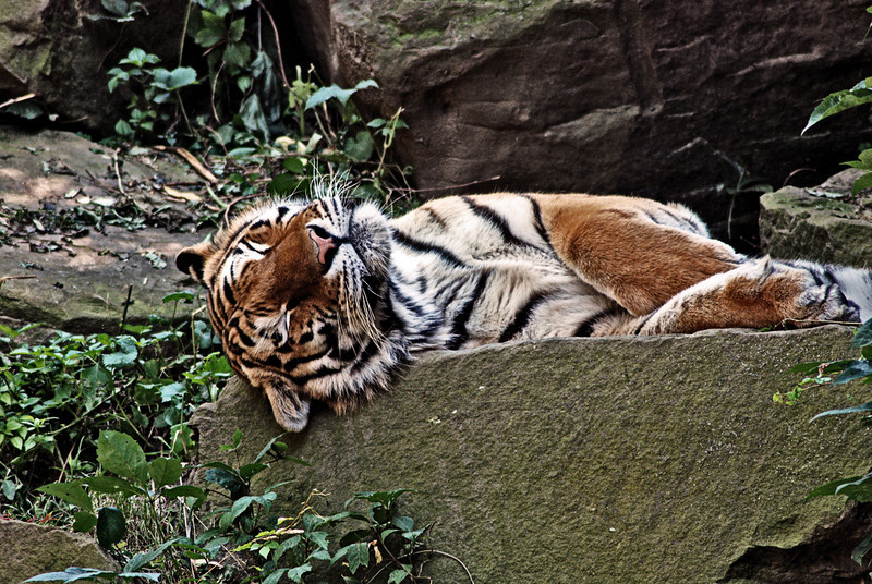 Tiger_6631B.jpg