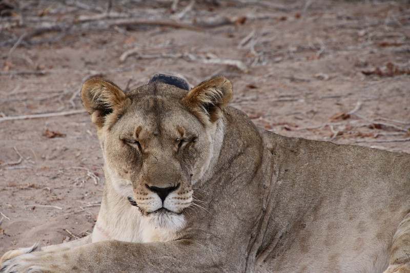 Female lion in the dry Huanib riverbed