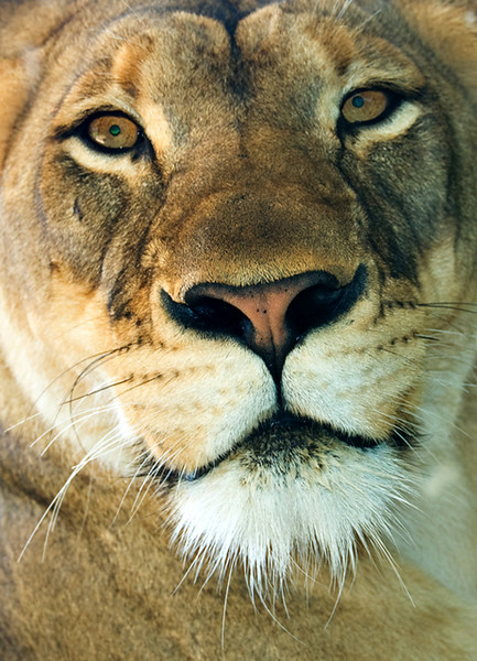 Lion Portrait.jpg