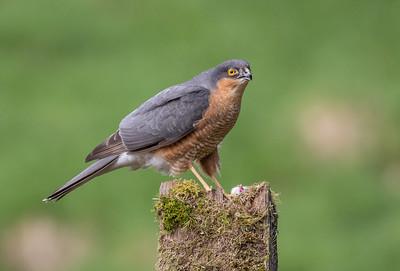 20180425  Sparrowhawk Hide - Nr Kirkcudbright