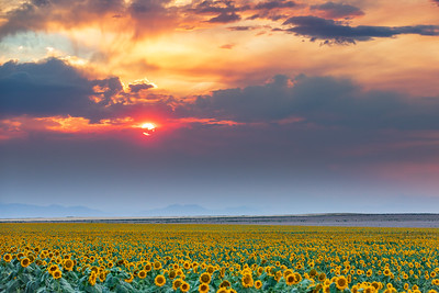 Colorado Sunflower Field Sunset