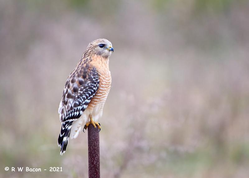 Red-shouldered Hawk Portrait.jpg