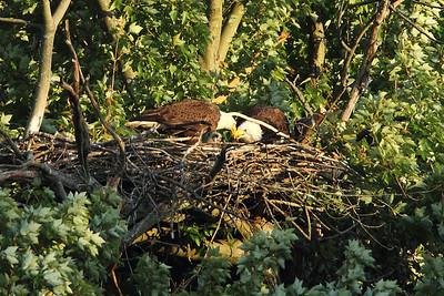 Huntingburg Eagle Nest - April 22