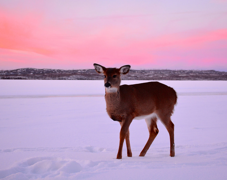 Gunflint Lake deer.jpg