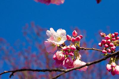 Cherry Blossom Festival 2013
