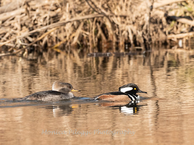 Hooded mergansers, 26 December 2018