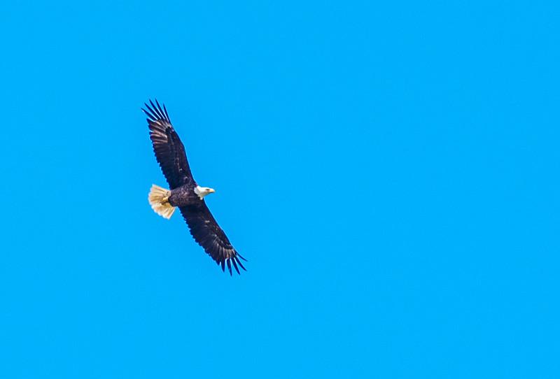MMG_4615 MMGINC Bald Eagle.jpg