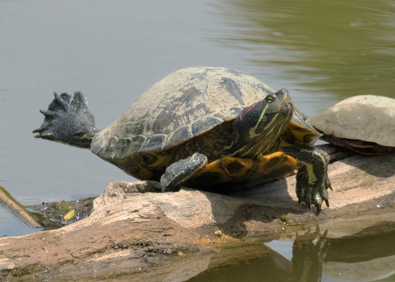 Red Eared Slider Turtle Sunning