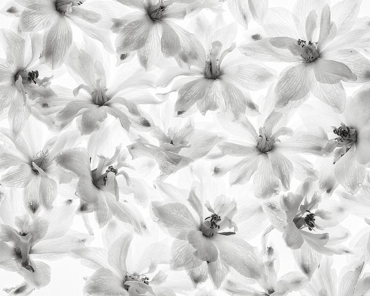 white-delphinium.jpg