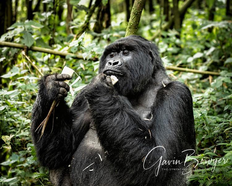 gorillas web-9.jpg