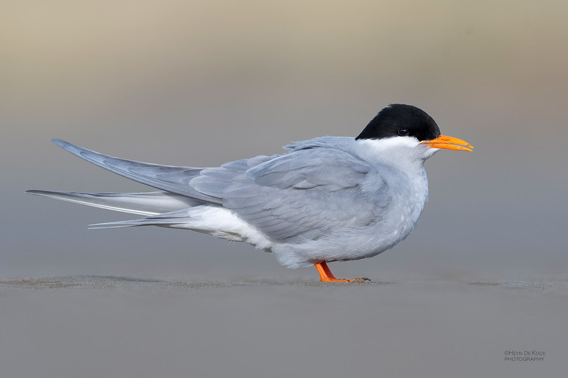 Black-fronted Tern, Christchurch, SI, NZ, Sep 2018-7.jpg