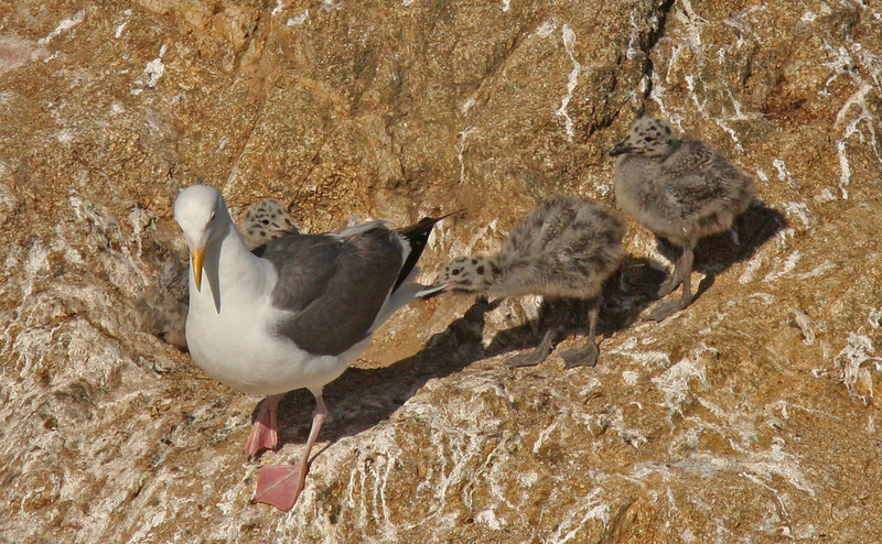 Western Gulls and nestlings, Bodgega Bay