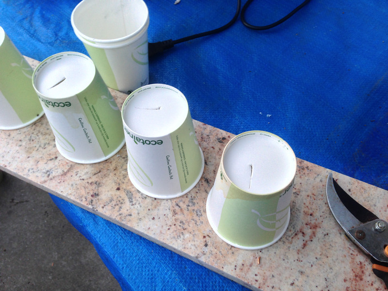 Step 11: To be eco-friendly, I'm reusing paper cups, and used a pruner blade to cut a slit at the bottom of each cup, so that excess water would leave the cup, instead of rotting the seeds.
