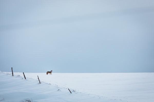 Wintering Coyotes