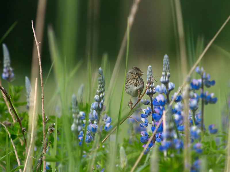 A sparrow briefly perches on some lupine out near Eagle Beach, North of Juneau. As long as I sat still it would return to keep an eye on me now and then.  June 13, 2011.
