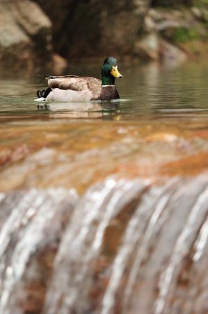 Ducks - June 2009