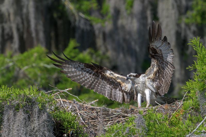 2021_KSMetz_Florida_Osprey Trip_April08 and 09_NIKON D850_7103.jpg