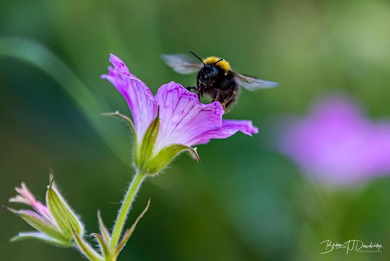 Garden Bees-3634.jpg