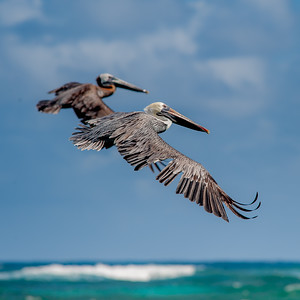 For the LOVE of Pelicans
