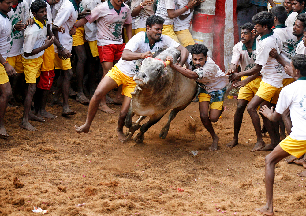 . Bull tamers try to control a bull during the bull-taming sport called Jallikattu, in Alanganallur, about 530 kilometers (331 miles) south of Chennai, India, Wednesday, Jan. 16, 2013. Jallikattu is an ancient heroic sporting event of the Tamils played during the harvest festival of Pongal. (AP Photo/Arun Sankar K.)