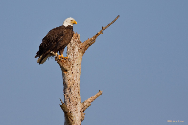 An eagle enjoys the morning rays at Viera Wetlands