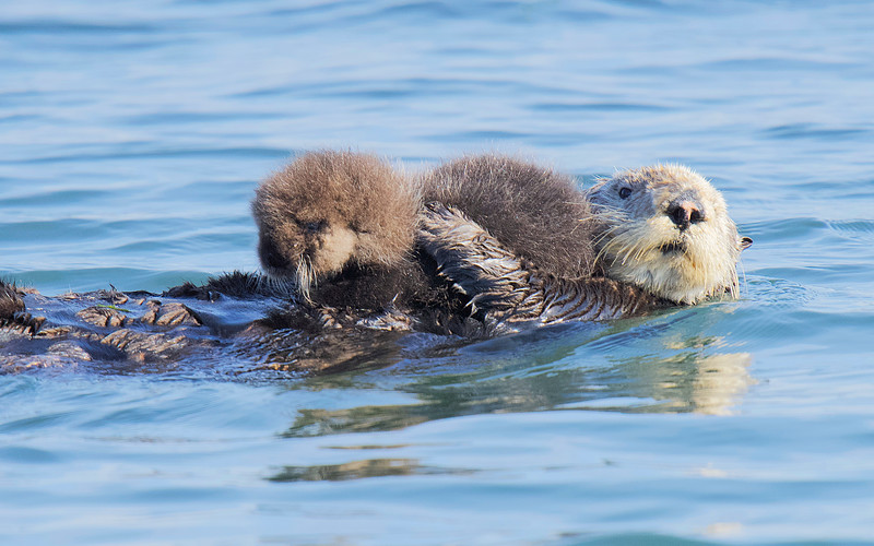 Baby Sea Otter at Elkhorn Slough