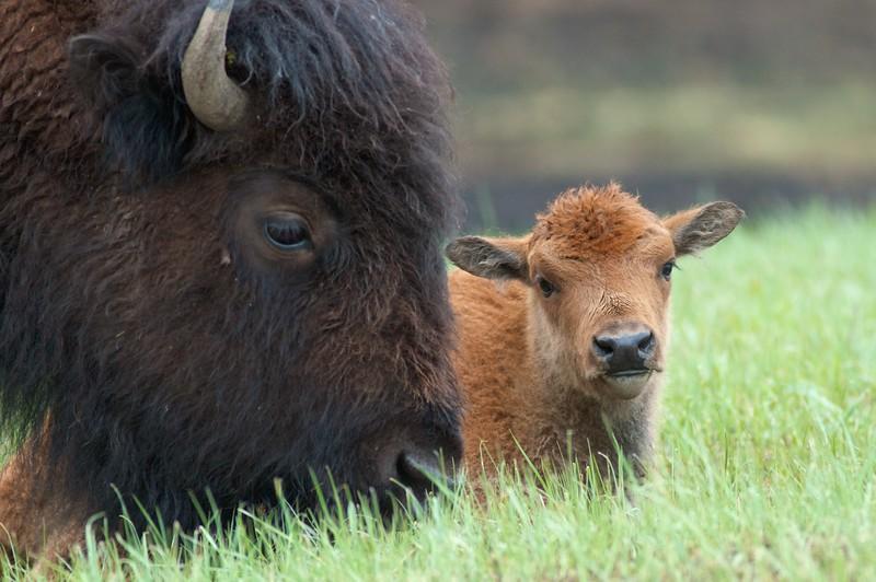 Bison Theodore Roosevelt National Park ND IMG_9476.jpg