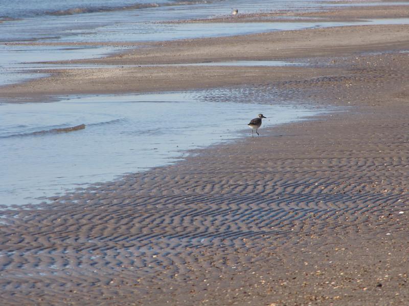 a lone sanderling looks on