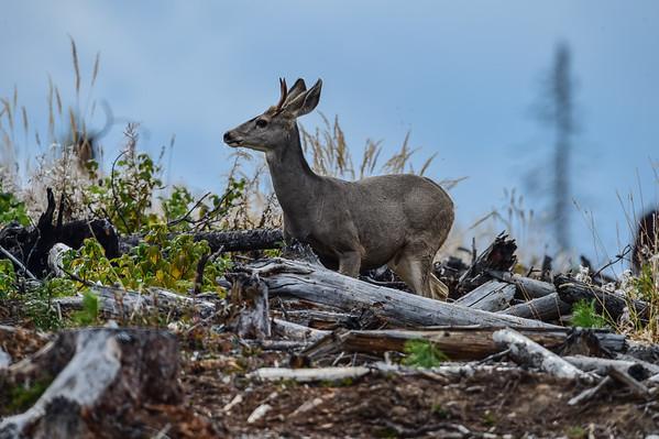 9-18-14 Deer On Horizon
