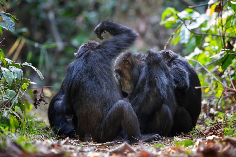 Chimp Social Grooming