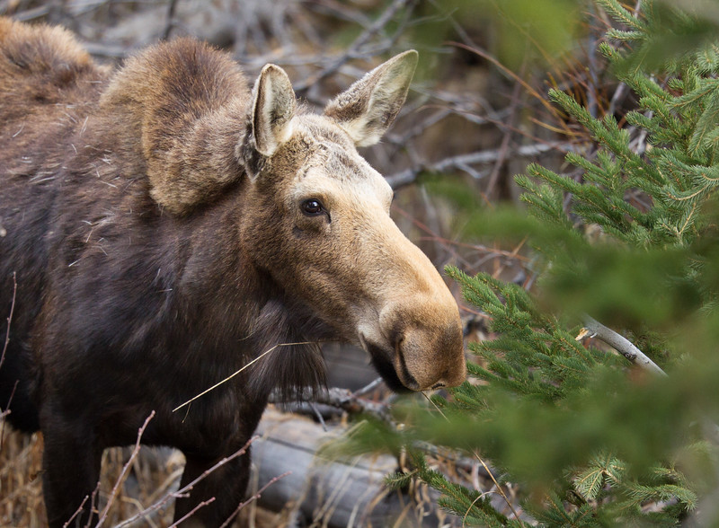 Moose cow Yellowstone National Park WY IMG_7176.jpg