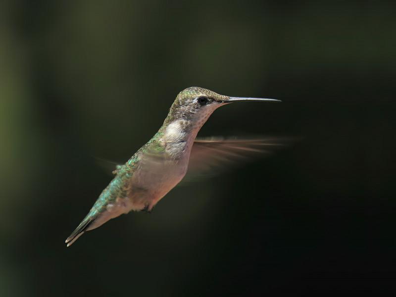 sx50_hummingbird_hif_429.jpg