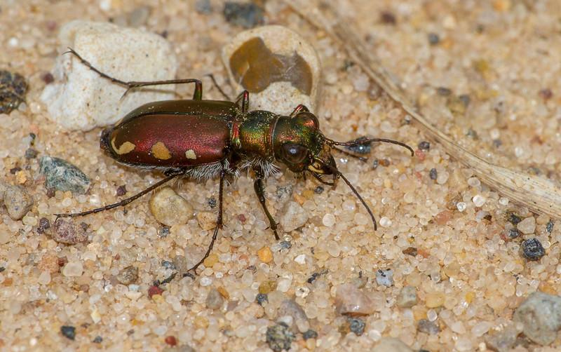 Cicindela scutellaris subspecies Lecontei Festive Tiger Beetle Sauk Prairie Recreation Area WI  IMG_0327.jpg