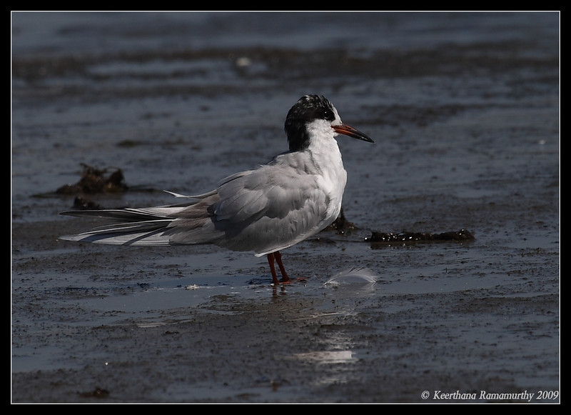 Forster's Tern, Coronado Ferry Landing, San Diego County, California, April 2009