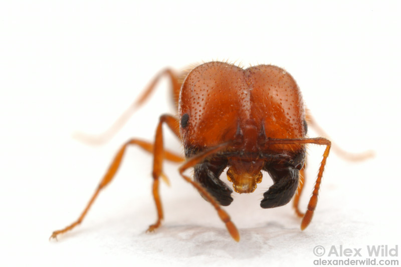 Solenopsis geminata is a seed harvesting ant, and major workers have massive heads for powering the blunt seed-milling mandibles.  Durban, South Africa