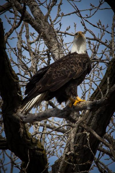 Eagle Beautiful vert-7059.jpg