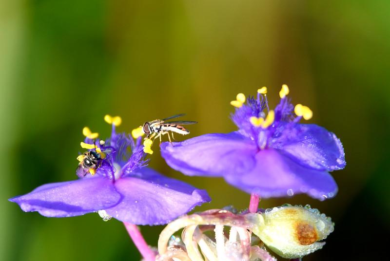Fly-bee-tradescantia-spiderwort-rjd.jpg