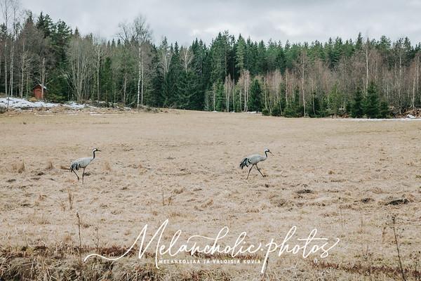 Kaksi kurkea harppoo pellolla