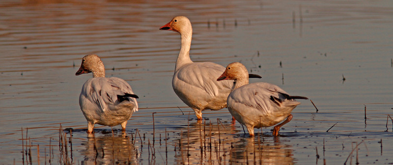 Snow Geese, Sacto WLR