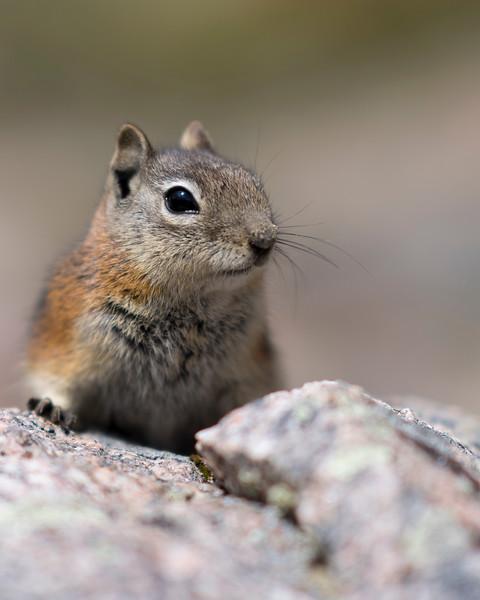 Chipmunk on Rock