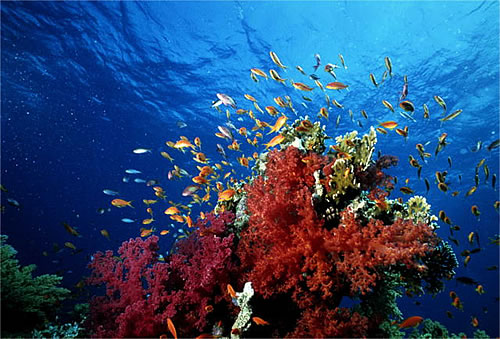 Coral and reef fish, Similan Islands