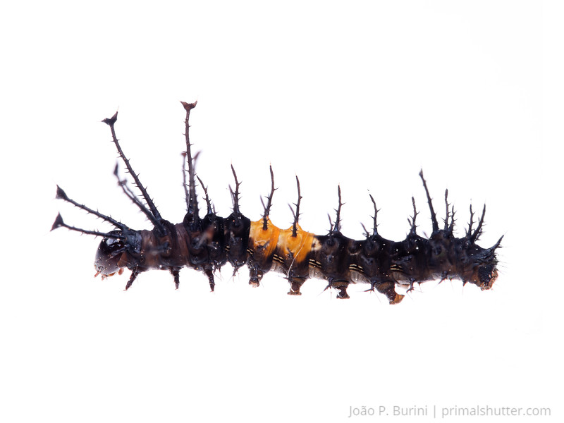 Regal moth caterpillar (Citheronia laocoon) Sorocaba, SP, Brazil Urban March 2014