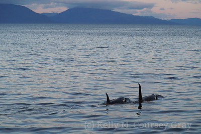 Killer Whales/Orca
