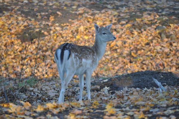 Veteran's Deer Park in Bennington-110215