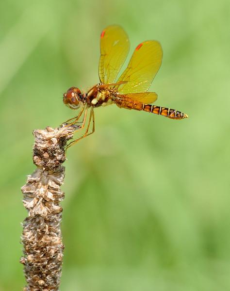 Perithemis tenera (Eastern Amberwing), GA