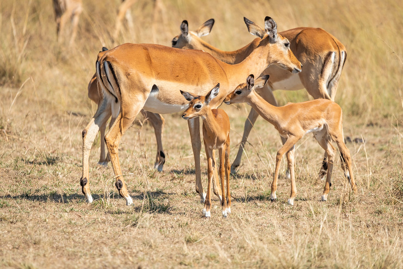 Mother Impalas with Babies