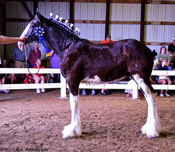 Clydesdale Stud Foal