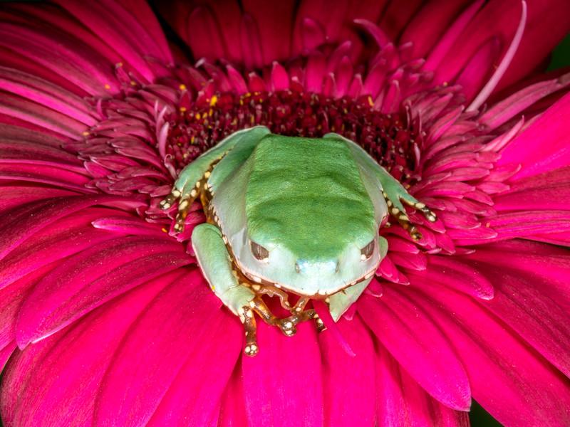 Waxy monkey tree frog (Phyllomedusa sauvagii) captive