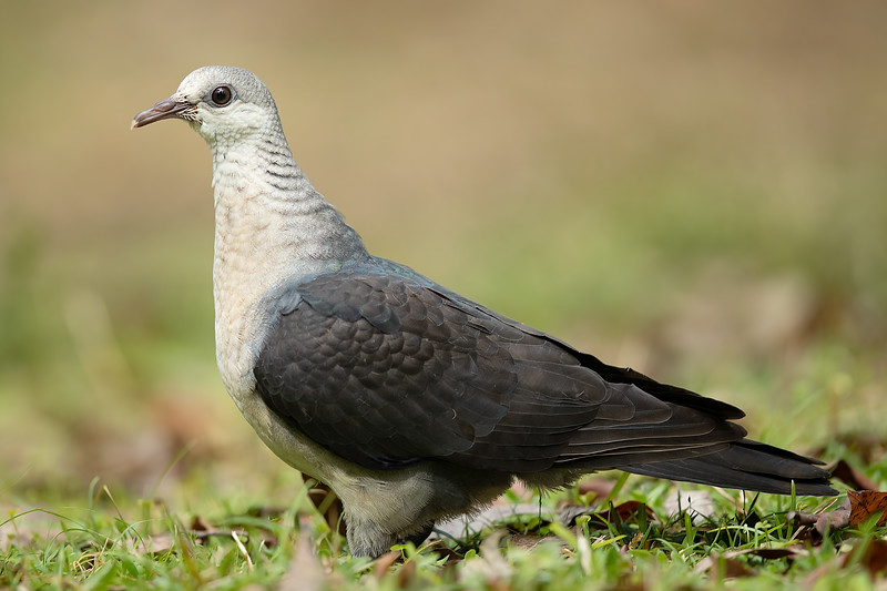 White-headed Pigeon female
