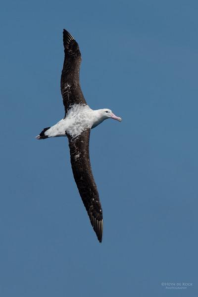 Antipodean Albatross, Wollongong Pelagic, NSW, Aus, Oct 2014-1.jpg